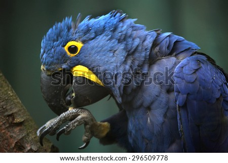 Hyacinth macaw (Anodorhynchus hyacinthinus). Wildlife animal.  - stock photo
