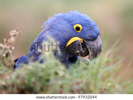 Hyacinth Macaw behind shrub - stock photo