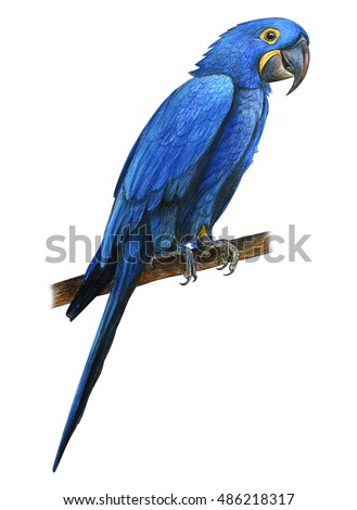 Blue Macaw Drawing Macaw Stock Images, Ro...