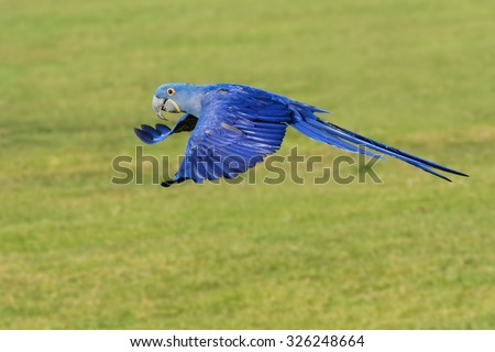 Hyacinth Macaw flying along. A beautiful hyacinth macaw is seen flying past the camera. - stock photo