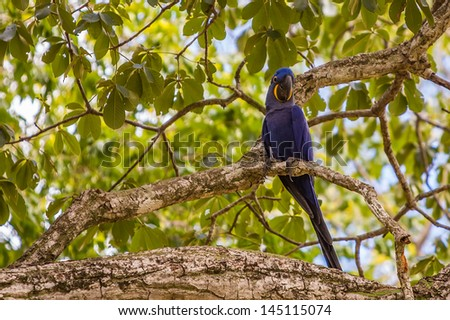 Hyacinth macaw in tree, blue bird parrot - stock photo