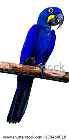Hyacinth Macaw Parrot isolated on white background - stock photo