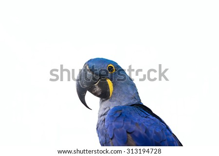 hyacinth macaw parrot on white background