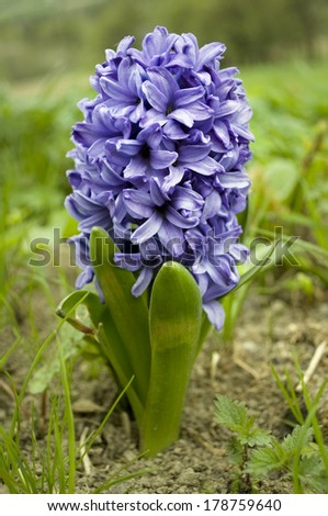 Hyacinth on green field - stock photo