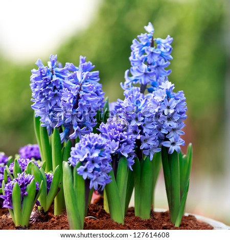 Hyacinth plants blooming in early spring in the park - stock photo