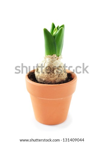 Hyacinth sprout in a clay pot, isolated - stock photo