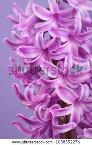 Hyacinth violet dutch hyacinth spring flowers stock photo edit now hyacinth violet dutch hyacinth spring flowers the perfume of blooming hyacinths is a symbol mightylinksfo