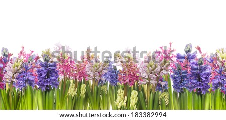 hyacinths flowers blooming in spring,banner,border, isolated - stock photo