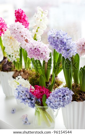 Hyacinths in flowerpots on a window sill - stock photo