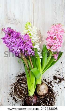 hyacinths on wooden surface - stock photo