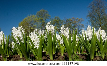 Hyacinths. Shot with a low point. - stock photo