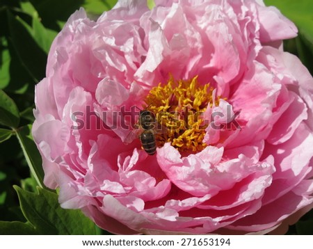 Hybrid cultivar tree peony (Paeonia suffruticosa) flower in the spring garden - stock photo