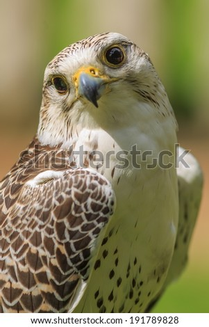 hybrid Saker Falcon and Gyrfalcon