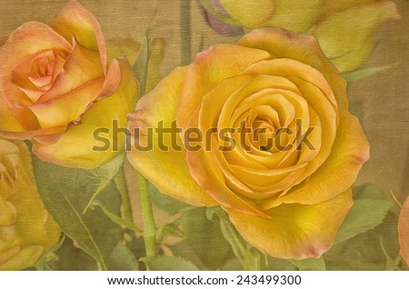 Hybrid tea rose, circus, against textured background - stock photo