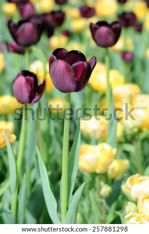 hybrid tulip in the morning with blue sky - stock photo