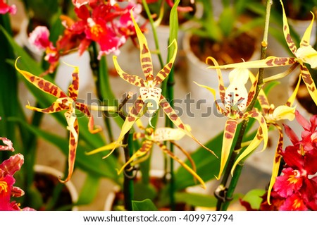 Hybrids Cambria. Beautiful orchid. Home decoration. - stock photo