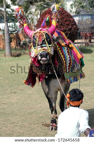 HYDERABAD,AP,INDIA-JANUARY 14:Musicians take around decorated bull as tradtion during pongal or sankranti hindu festival end of harvest and start of spring  on January 14,2014 in Hyderabad,India.