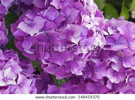 hydrangea - stock photo