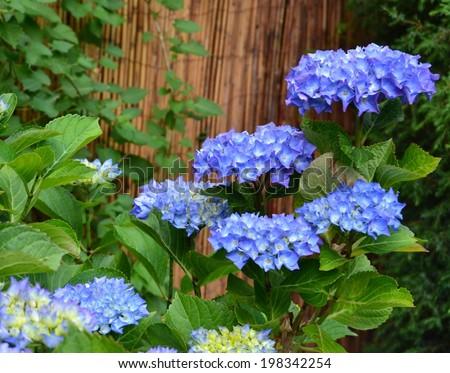 Blue Foxglove Flowers Garden Stock Photo 126110606