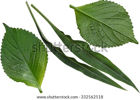 Hydrangea and Stokesia laevis aster leaf isolated on white background - stock photo