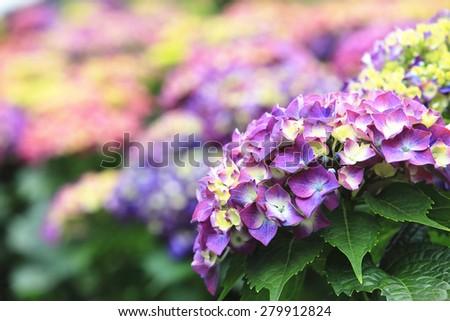 Hydrangea,Big-leaf Hydrangea,Laurustinus,beautiful purple with yellow flowers blooming in the garden in summer,closeup - stock photo