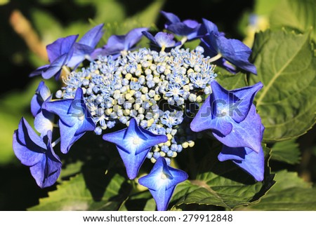 Hydrangea,Big-leaf Hydrangea,Laurustinus,closeup of beautiful blue with yellow flowers blooming in the garden in summer - stock photo
