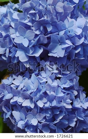 Hydrangea Blooms - stock photo
