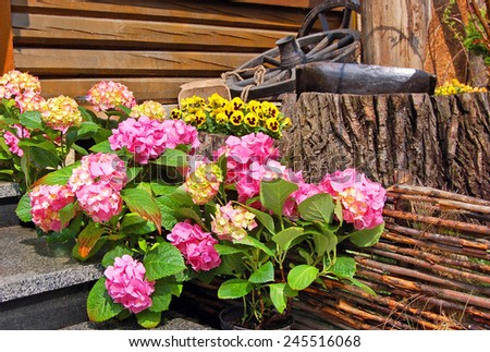 Hydrangea blossom and Pansy (Viola tricolor) on flowerbed - stock photo