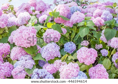 hydrangea blossom on lake Bled