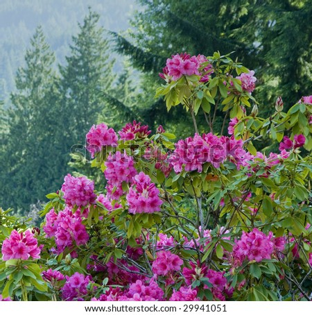 Hydrangea bush amongst evergreen trees