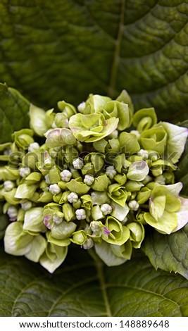 hydrangea close-up - stock photo