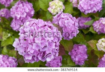 Hydrangea common names hydrangea or hortensia - stock photo