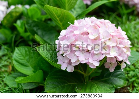 Hydrangea, Flower - stock photo