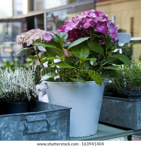 hydrangea. Flower in flower`s shop . Summer time. - stock photo