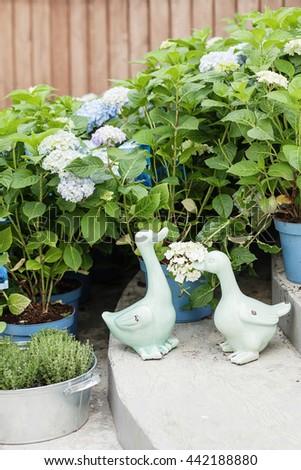 Hydrangea. Flower in flower`s shop . Summer time. Garden decor - stock photo