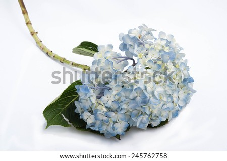 Hydrangea flower on white background, soft and gentle - stock photo