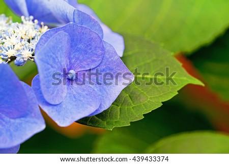 Hydrangea flower variety Blue Sky macrophylla Teller Blue  Big leaf, close up, macro - stock photo