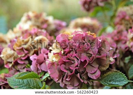 Hydrangea flowers in autumn, shallow depth of field.