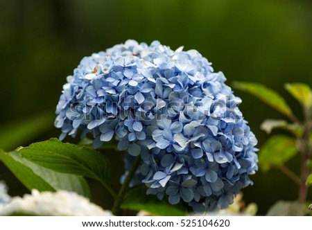 Hydrangea flowers, tropical Botanical Garden in Funchal, Madeira island, Portugal