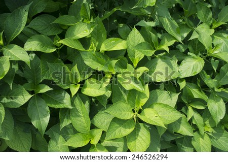 hydrangea hortensis green bush close up