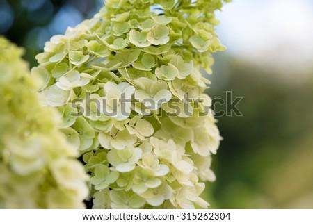 Hydrangea in bloom - stock photo