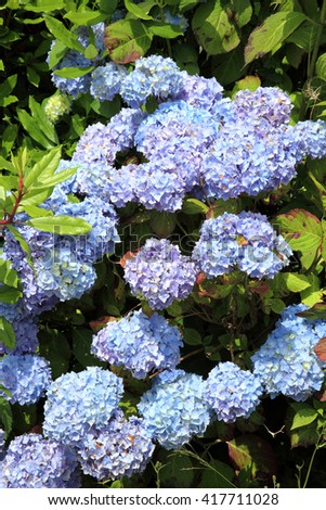 Hydrangea in full flower blossom, which is a spring and summer flowering shrub perennial herbaceous flower plant