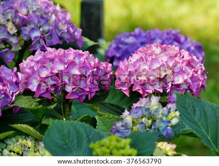 Hydrangea macrophylla - Beautiful bush of hydrangea flowers in a garden - stock photo