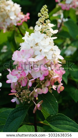 hydrangea paniculata pinky winky hydrangea beautiful stock. Black Bedroom Furniture Sets. Home Design Ideas