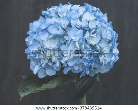 hydrangeas - stock photo