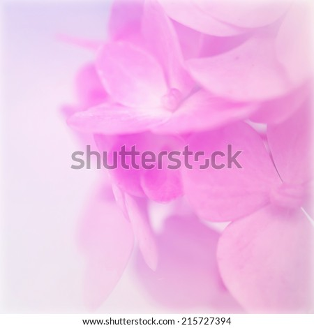 hydrangeas in soft color for background