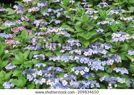 Hydrangeas in the grounds of Hartland Abbey, Hartland, on the Atlantic coast between Bideford and Bude in the north west of Devon, England, UK