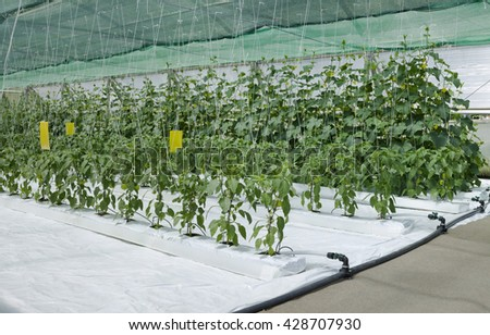 Hydroponic Cultivation of Paprika and Cucumber Hothouse - stock photo