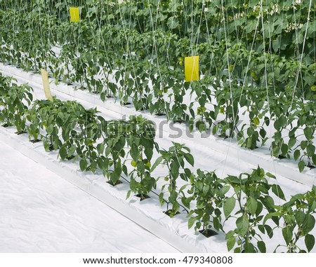 Hydroponic Cultivation of Paprika and Cucumber Hothouse