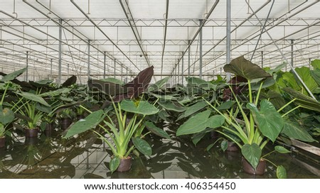 Hydroponic cultivation of Philodendron maximum potted plants in a specialized Dutch nursery. - stock photo